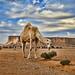 Camel HDR
