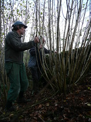 Hazel rods for currach 'couples'