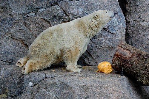 Polar Bear with a Pumpkin