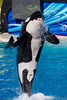 """Orca Dancing and sticking tongue out at Sea World 2011 • <a style=""""font-size:0.8em;"""" href=""""http://www.flickr.com/photos/33121778@N02/6297333125/"""" target=""""_blank"""">View on Flickr</a>"""