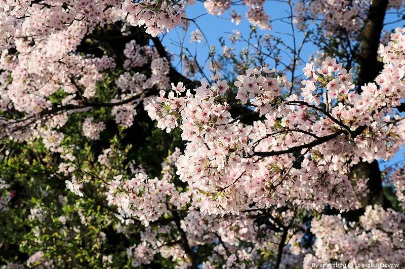 阿里山櫻花季21