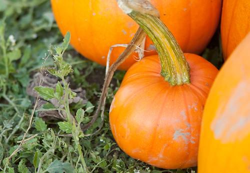 PumpkinPatch-28