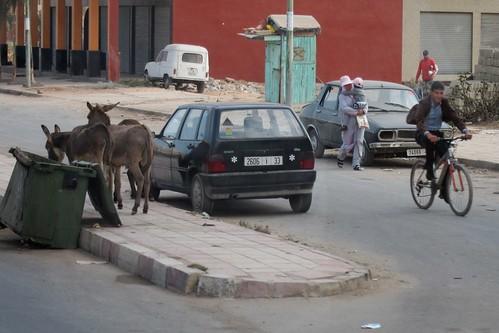 Donkeys in Casablanca Morocco