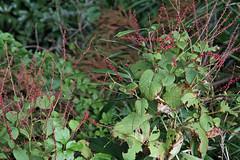 三保市民の森のミズヒキ(Flower, Miho Community Woods)