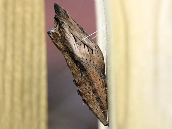 Chrysalis of a Black Swallowtail (Papilio polyxenes asterias)