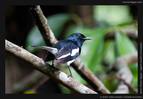 Oriental Magpie Robin