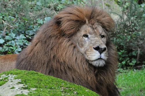Afrikanischer Löwe im Parc zoologique de Champrepus