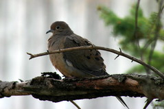 Mourning Dove_5786
