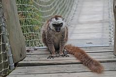 Weißkopfmaki im Parc zoologique de Champrepus