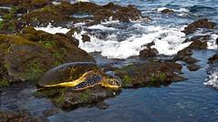 Green sea turtle at Punaluu beach, Hawaii