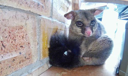 Male Possum