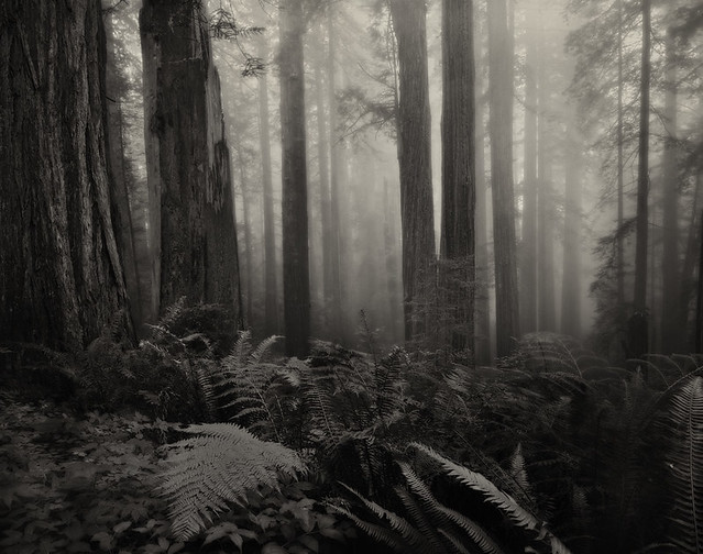 Del Norte Redwoods - 4x5 HP5+
