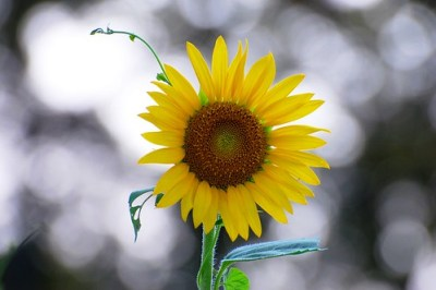 Sunflower Bokeh 8-1-11  - Nikon D40 shutter count 61900 - over the last 4 years I have averaged over 1200 photos a month!