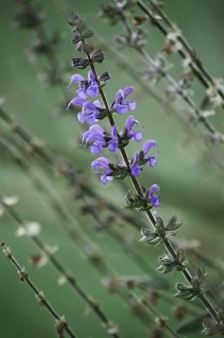 Purple Flowers Desaturated (Arledge Garden)