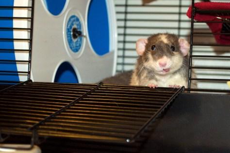 Dumbo Rex Rat