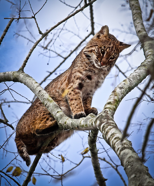 Bobcat in Tree, Circle B Bar Reserve