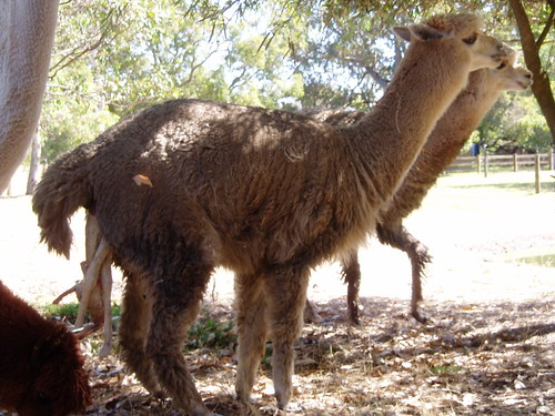 Alpaca giving birth