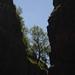 Tree (Gordale Scar, Yorkshire Dales)