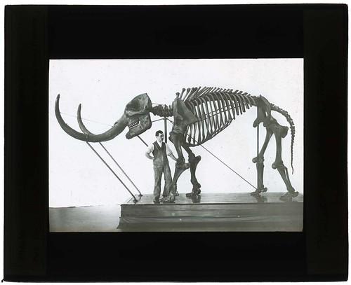 Mastadon americanus, Newburg Mastadon, 1900-1935.