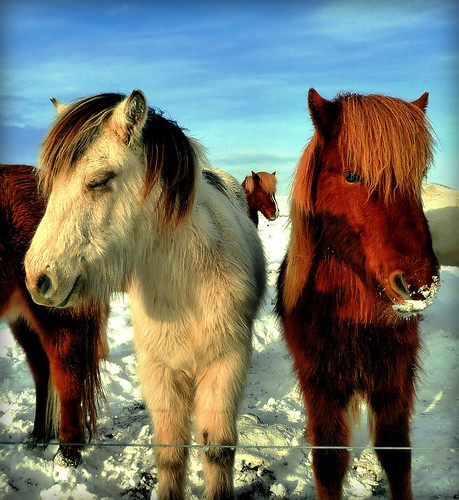 Two Icelandic Beauties (plus another trying to say hello!)