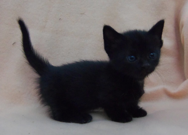 Image result for picture of black kittens