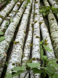alder poles birch poles