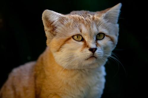 Sand Cat 60
