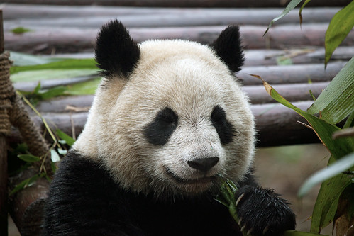 CHINA Sichuan Province Chengdu Sichuan Giant Panda Sanctuaries Chongquing Tour 3204 AJ20 by SunDeep™ 70+Countries SDBWP™ sundeepkullu.com