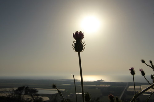 Thistle silhouette