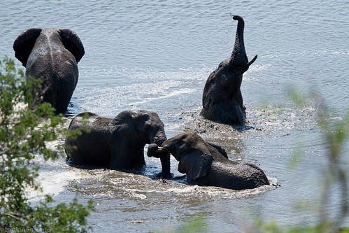 African Elephants Bathing and Playing