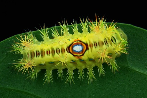 Nettle caterpillar (Limacodidae)