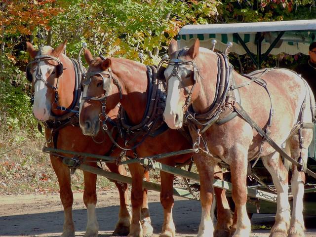 Horses on Mackinac