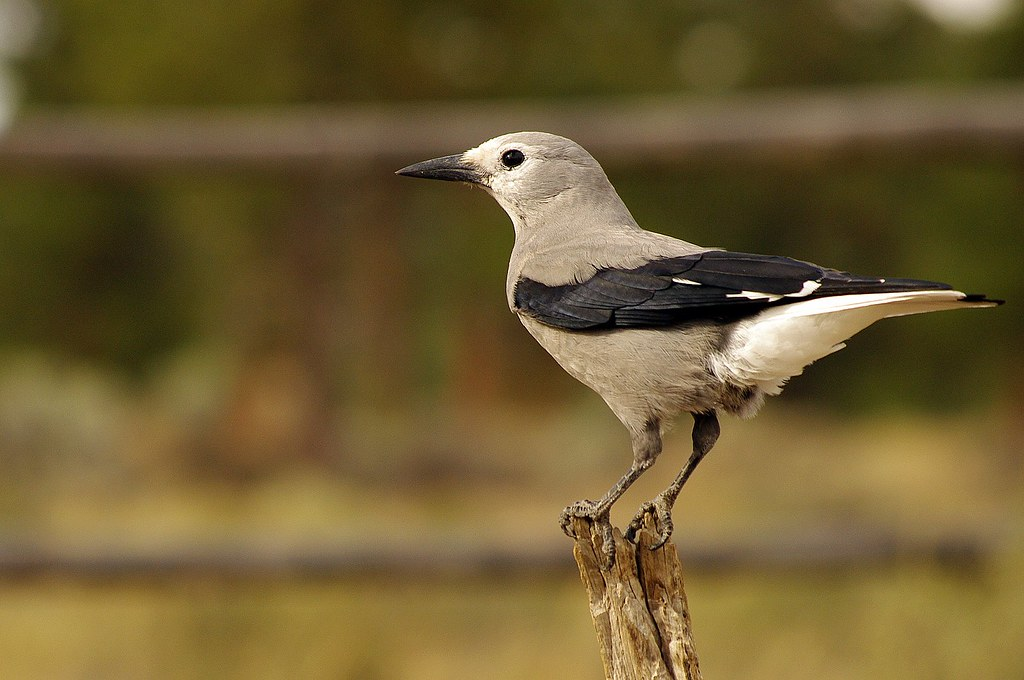 Clark's Nutcracker Perched