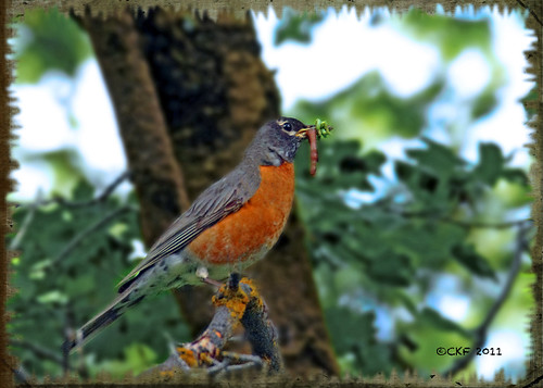 Robin Breakfast