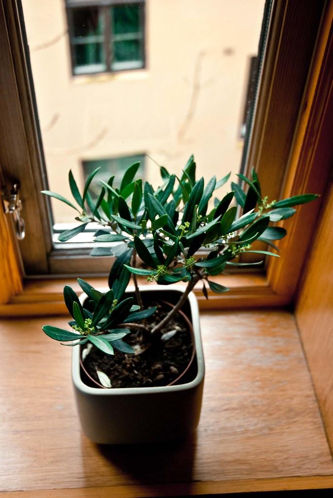Bergen - Olive Tree