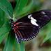 Laparus doris viridis (Costa Rica)