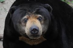 Malaienbärin Malaka im Zoo de Trégomeur