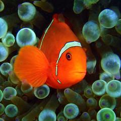 spinecheek anemonie fish