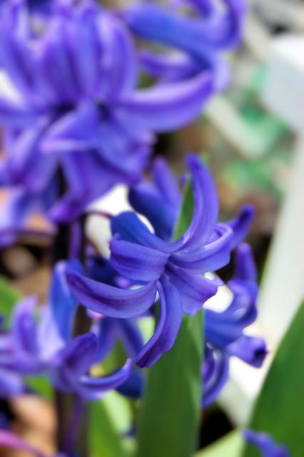 macro close up of hyacinth bloom