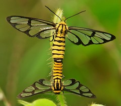 Tiger-Striped Clearwing Moths (Amata sp)