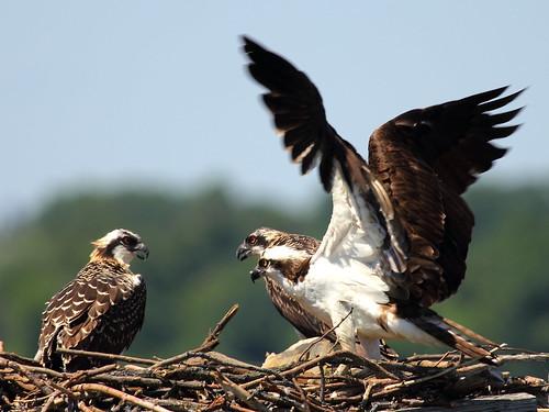 thorny nests