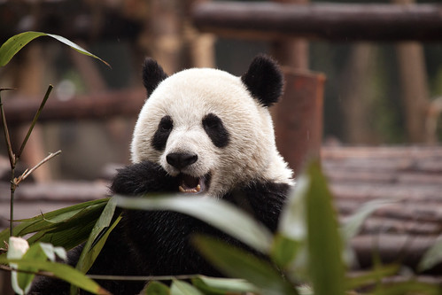CHINA Sichuan Province Chengdu Sichuan Giant Panda Sanctuaries Chongquing Tour 3166 AJ20 by SunDeep™ 70+Countries SDBWP™ sundeepkullu.com