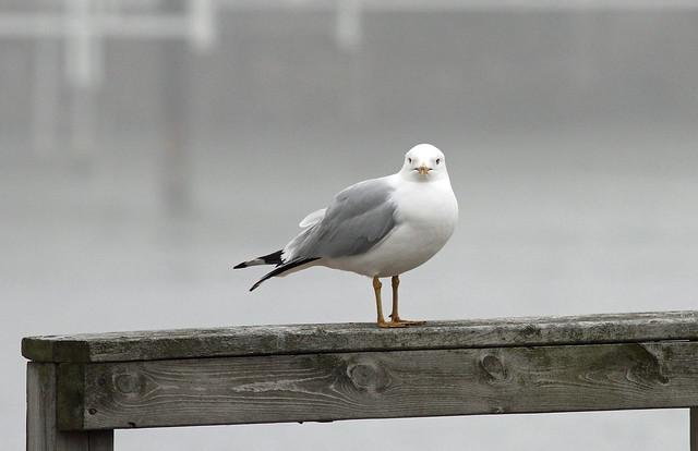Gull in the fog