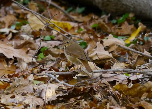 Hermit Thrush in Prospect Park, Brooklyn, November 9, 2011