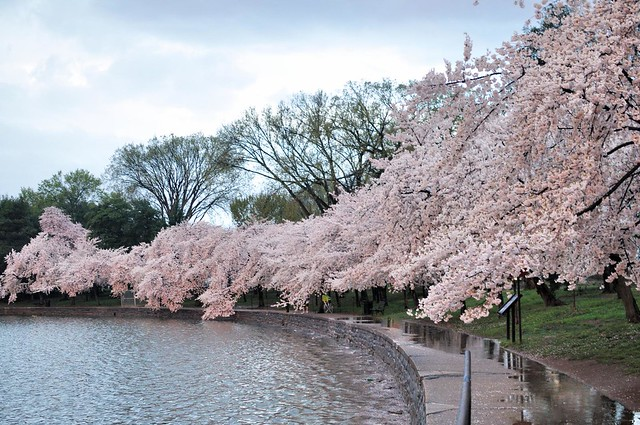 Cherry Blossoms Waterside Pathway