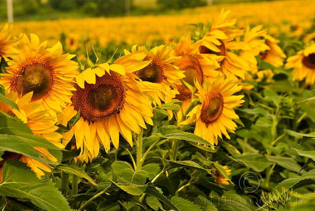 Sunflower Fields (2/4)