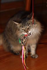 Fluff with Toy-on-a-String