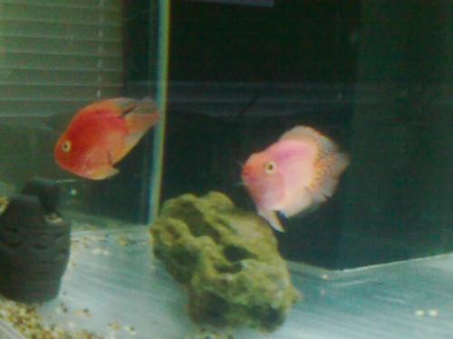 My Parrot fish pair