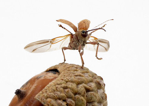 Acorn weevil taking off (Curculio sp.) [Explored]