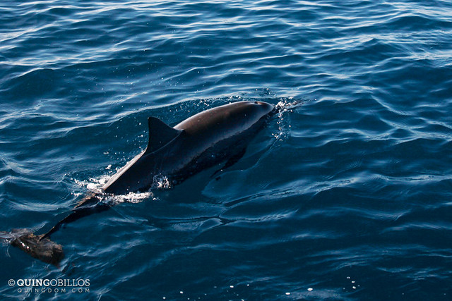 Dolphin in Palawan